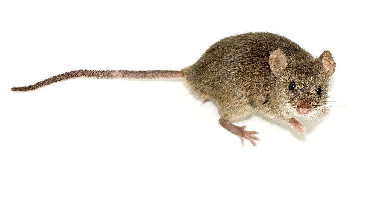 Myš domová (Mus musculus)