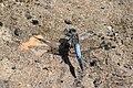 Озеро Тягле Рівночеревець решітчастий Самець DSC 02611.jpg
