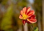 Осіння квітка у парку Олександрія.jpg