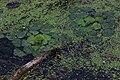 Розетки водяного горіха (чиліма) у північній частині Дністровського лиману.jpg