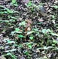Сирецький гай білка або вивірка IMG 7833.jpg