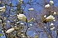 Тернопільські магнолії - Весняний цвіт - 17049698.jpg