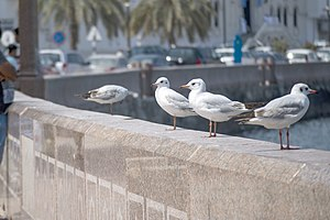 رفتار مرغان دریایی نوروزی یا یاعو در کشور عمان، شهر مسقط، ساحل دریای عمان - عکس مصطفی معراجی 18.jpg