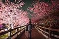 【台中。泰安景點】泰安櫻花季 (32332326083).jpg