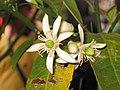 佛手 Citrus medica v sarcodactylis -香港花展 Hong Kong Flower Show- (9227080973).jpg