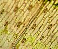 單子葉表皮組織.png