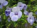 夏菫 Torenia Catalina Blue -香港公園 Hong Kong Park- (29886056312).jpg