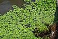 大萍 Water cabbage (Pistia stratiotes Linn.) - panoramio.jpg