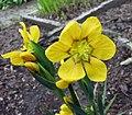 庭菖蒲 Sisyrinchium macrocarpum -比利時 Ghent University Botanical Garden, Belgium- (15010136360).jpg