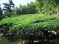 揭西黄满礤茶园 - panoramio.jpg