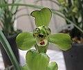 春蘭荷梅 Cymbidium goeringii 'Lotus-shaped Prune' -香港沙田國蘭展 Shatin Orchid Show, Hong Kong- (12316831583).jpg