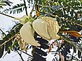 木田菁(大花田菁) Sesbania grandiflora -深圳園博園 Shenzhen Expo Garden, China- (9227096869).jpg