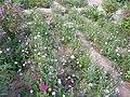 植物园的花园 - panoramio.jpg