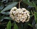 皺葉莢迷 Viburnum rhytidophyllum -捷克 Krumlov, Czech- (26952564854).jpg
