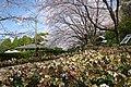 花の文化園 クリスマスローズガーデン 2014.4.01 - panoramio.jpg