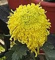 菊花-晚玉蓮 Chrysanthemum morifolium 'Late Jade Lotus' -中山小欖菊花會 Xiaolan Chrysanthemum Show, China- (11961466653).jpg