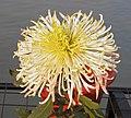 菊花-綠海波 Chrysanthemum morifolium 'Green Sea Waves' -中山小欖菊花會 Xiaolan Chrysanthemum Show, China- (12050154496).jpg