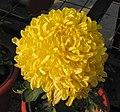 菊花-金鐘震宇 Chrysanthemum morifolium 'Golden Bell Shaking Universe' -中山小欖菊花會 Xiaolan Chrysanthemum Show, China- (12099377574).jpg