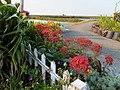 落地生根 Bryophyllum sp. - panoramio.jpg