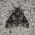蛾 Moth - panoramio.jpg