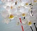 蝴蝶蘭 Phalaenopsis Timothy Christopher -香港花展 Hong Kong Flower Show- (32907732493).jpg