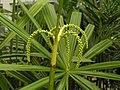 軸櫚屬 Licuala aurantiaca -泰國清邁花展 Royal Flora Ratchaphruek, Thailand- (9219872943).jpg