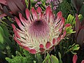 闊葉海神花 Protea eximia Sylvia -香港花展 Hong Kong Flower Show- (9207641288).jpg