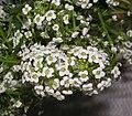 香雪球 Lobularia maritima -香港花展 Hong Kong Flower Show- (9240278696).jpg