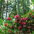 高天山草園にて Azalea 2012.5.14 - panoramio.jpg