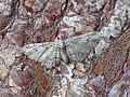 -1862- Double-striped Pug (Gymnoscelis rufifasciata) (37803234464).jpg