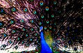 01 Peacock.jpg
