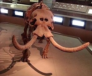 Skelett eines sizilianischen Zwergelefanten im Museo Archeologico Regionale Paolo Orsi in Syrakus, Italien