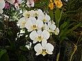 05525jfMidyear Philippine Orchid Show Circle Quezon Cityfvf 19.JPG
