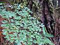 130106 ferns 2 luis figueroa.JPG