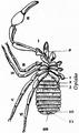 1911 Britannica-Arachnida-Garypus litoralis.png