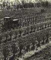 1965-4 1965年广东东方红国营农场种植剑麻.jpg