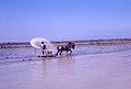 1968-05 Paysan dans rizière Valencia.jpg