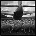 20.5.65. Le Bréguet 941 à attérissage court en forêt de Bouconne (31) (1965) - 53Fi5096.jpg