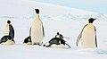2007 Snow-Hill-Island Luyten-De-Hauwere-Emperor-Penguin-48.jpg