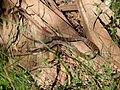 20091226 Tiger Snake.jpg