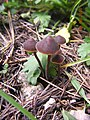 2010-08-14 Macrocystidia cucumis (Pers.) Joss 98210.jpg