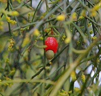 Exocarpos cupressiformis - Image: 20100211 Native Cherry fruit