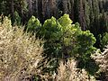 2013-08-15 18 57 20 Aspen, Subalpine Fir and Curl-leaf Mountain Mahogany on the northwestern slopes of Jarbidge Peak.jpg
