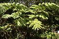 2013.10.31.113024 Hapuu pulu tree fern (Cibotium glaucum) Hawaii Volcanoes National Park Hawaii.jpg