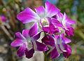201303311620a Orchidee.jpg