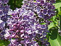 2013 Rochester Lilac Festival - Flower City Lilac - 01.JPG