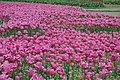 2014-04-04 石象湖 郁金香 liuzusai - panoramio (67).jpg