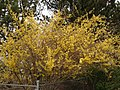 2014-04-21 12 43 11 Forsythia in bloom in Elko, Nevada.JPG