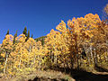 2014-10-04 14 37 12 View of Aspens during autumn leaf coloration from Charleston-Jarbidge Road (Elko County Route 748) in Coon Creek Valley about 13.0 miles north of Charleston, Nevada.JPG