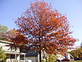 2014-10-30 10 01 57 Pin Oak during autumn leaf coloration along Dunmore Avenue in Ewing, New Jersey.JPG